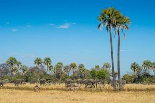 Waterbucks (Kobus ellipsiprymnus) in front of African bush elephants (Loxodonta africana), Liwonde Nの写真素材 [FYI03811938]