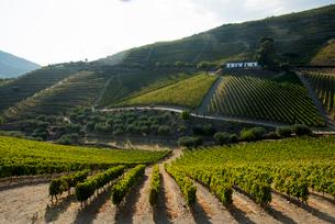 Grape vines ripening in the sun at a vineyard in the Alto Douro regionの写真素材 [FYI03811980]