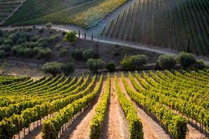 Rows of grape vines ripening in the sun at a vineyard in the Alto Douro regionの写真素材 [FYI03811986]
