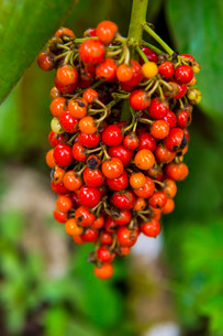 Close-up of red coffee berries (Rubiaceae) in the Botanic Garden of Bom Sucesso, Sao Tome, Sao Tomeの写真素材 [FYI03812205]