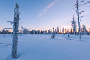 Sunset on trees covered with ice in the boreal forest (Taiga), Kiruna, Norrbotten County, Lapland, Sの写真素材 [FYI03812295]