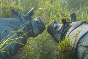 Couple of Indian rhinoceros (Rhinoceros unicornis) in the morning mist, Kaziranga National Park, Assの写真素材 [FYI03812322]