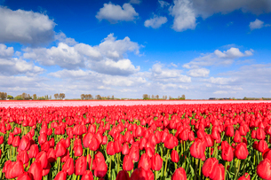 Blue sky and sun on fields of red tulips during spring bloom, Oude-Tonge, Goeree-Overflakkee, Southの写真素材 [FYI03812355]