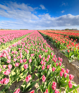 Panorama of multicolored tulips during spring bloom, Oude-Tonge, Goeree-Overflakkee, South Holland,の写真素材 [FYI03812359]