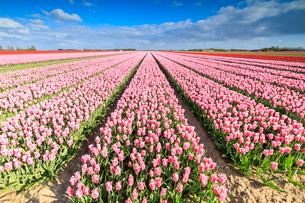 Blue sky on rows of pink tulips in bloom in the fields of Oude-Tonge, Goeree-Overflakkee, South Hollの写真素材 [FYI03812363]