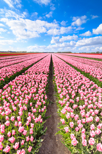 Blue sky on rows of pink tulips in bloom in the fields of Oude-Tonge, Goeree-Overflakkee, South Hollの写真素材 [FYI03812367]