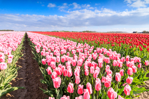 Multicolored tulips in the fields of Oude-Tonge during spring bloom, Oude-Tonge, Goeree-Overflakkee,の写真素材 [FYI03812370]