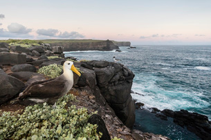 Adult waved albatross (Phoebastria irrorata), on Punta Suarez, Isla Espanola, Galapagos, UNESCO Worlの写真素材 [FYI03812454]