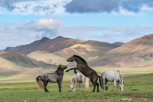 Wild horses playing and grazing and Khangai mountains in the background, Hovsgol province, Mongolia,の写真素材 [FYI03812709]