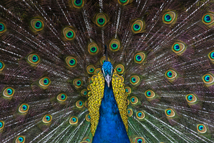 Indian Peacock (Pavo Cristatus) plumage display in the grounds of Barcelona Zoo, Catalonia, Spain, Eの写真素材 [FYI03812795]