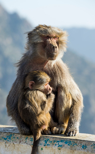 Mother with baby baboon on Mount Souda, highest mountain in Saudi Arabia, Abha, Saudi Arabia, Middleの写真素材 [FYI03812855]