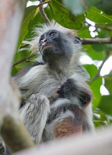 Endemic Red Colobus monkey (Piliocolobus), Jozani Forest, Jozani Chwaka Bay National Park, Island ofの写真素材 [FYI03812863]