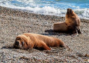 South American Sea Lions (Otaria flavescens), males, Punta Ninfas, Atlantic Coast, Chubut Province,の写真素材 [FYI03812988]