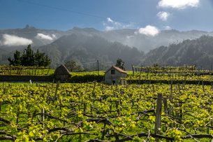 View of vineyard and scenery between Sao Vicente and Funchal, Madeira, Portugal, Atlantic, Europeの写真素材 [FYI03813014]