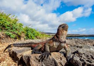 Marine iguana (Amblyrhynchus cristatus), Floreana (Charles) Island, Galapagos, UNESCO World Heritageの写真素材 [FYI03813131]