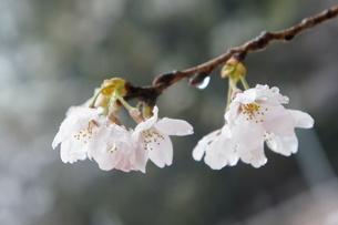 桜の写真素材 [FYI03813348]