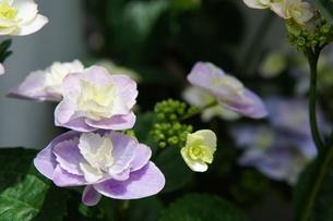 紫陽花の写真素材 [FYI03813418]
