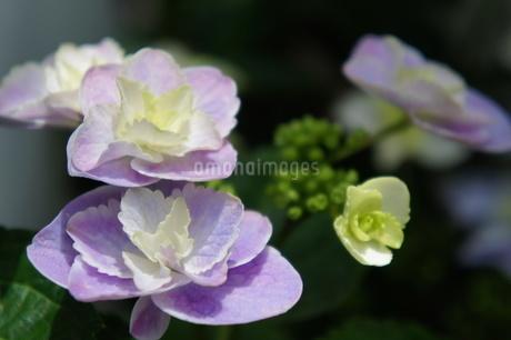 紫陽花の写真素材 [FYI03813419]