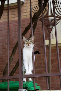 フェンスに足をかけるパリの猫の写真素材 [FYI03813500]