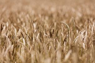 スイス、麦畑の写真素材 [FYI03813806]