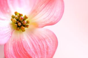 ハナミズキの花の写真素材 [FYI03813811]