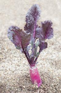 畑で栽培されている赤カブの写真素材 [FYI03813818]