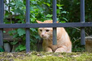 パリ、フェンス越しにのぞくチャトラの猫の写真素材 [FYI03813839]
