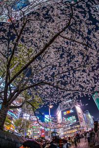渋谷駅前の桜の写真素材 [FYI03813882]