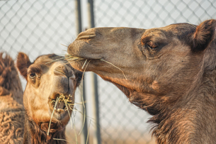 アラビア砂漠のラクダ(アラブ首長国連邦)の写真素材 [FYI03813883]