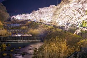 宮城野早川堤の桜の写真素材 [FYI03813913]