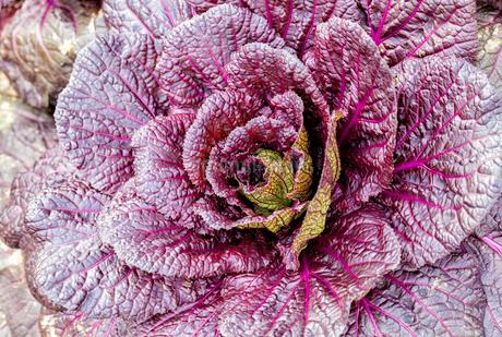 畑で栽培されている紫白菜の写真素材 [FYI03814044]