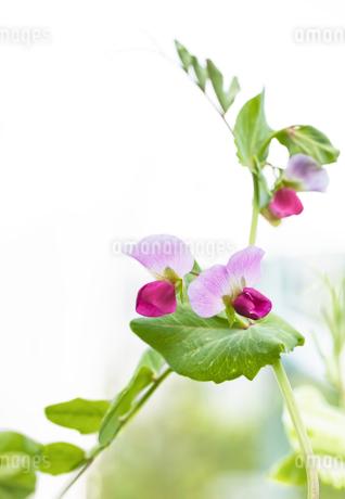 紫えんどうの花の写真素材 [FYI03814065]