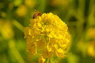菜の花とミツバチの写真素材 [FYI03814104]