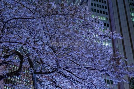 新宿の高層ビル群とライトアップされた桜の写真素材 [FYI03814106]