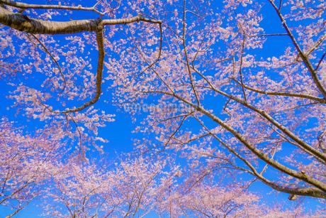 満開の桜と晴天の青空(調布飛行場)の写真素材 [FYI03814111]