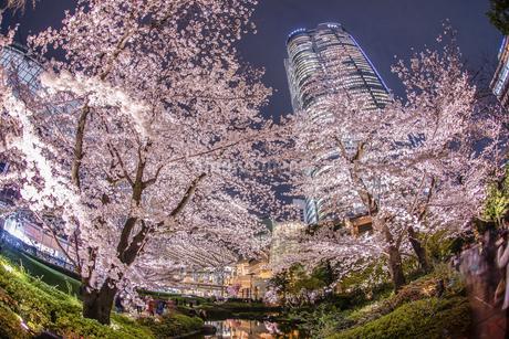 毛利庭園の夜桜と六本木ヒルズの写真素材 [FYI03814197]