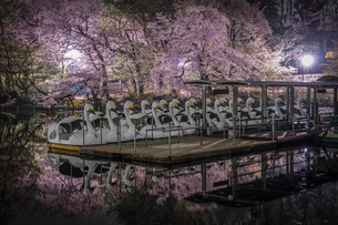 井の頭公園の夜桜とアヒルボートの写真素材 [FYI03814200]