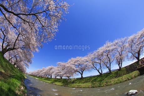 桜と青空の写真素材 [FYI03814426]