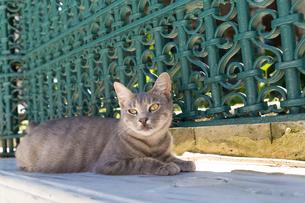 イスタンブール旧市街、グレーの猫の写真素材 [FYI03814478]