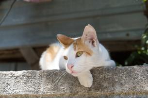 塀の上でくつろぐイスタンブールの猫の写真素材 [FYI03814483]