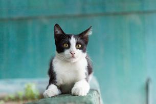 イスタンブール、緑の壁と黒白のネコの写真素材 [FYI03814490]