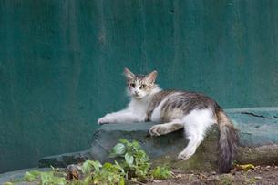 イスタンブール、緑の壁と長毛のネコの写真素材 [FYI03814492]