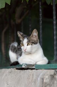 イスタンブール、石垣で構えるキジ白猫の写真素材 [FYI03814495]