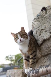 イスタンブール 石塀からのぞく猫の写真素材 [FYI03814512]
