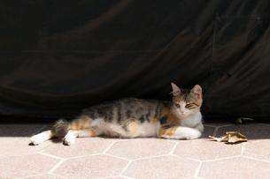 イスタンブール 日陰で休む三毛猫の写真素材 [FYI03814516]