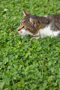 イスタンブール 草地でふせるネコの写真素材 [FYI03814524]