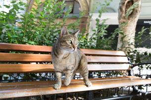 イスタンブール 木のベンチに乗った猫の写真素材 [FYI03814540]