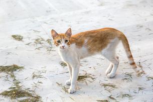 トルコの茶白猫の写真素材 [FYI03814550]