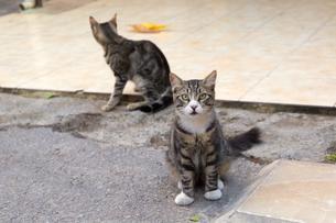 イスタンブール 二匹のキジ白猫の写真素材 [FYI03814560]