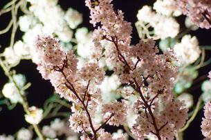 桜イメージの写真素材 [FYI03814720]